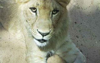loro-park-oroszlan