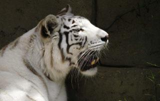 feher-tigris-lanzarote-rancho-texas-allatkert-viasale-travel-kanári-szigetek