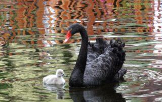 Fekete hattyú a Loro Parkban