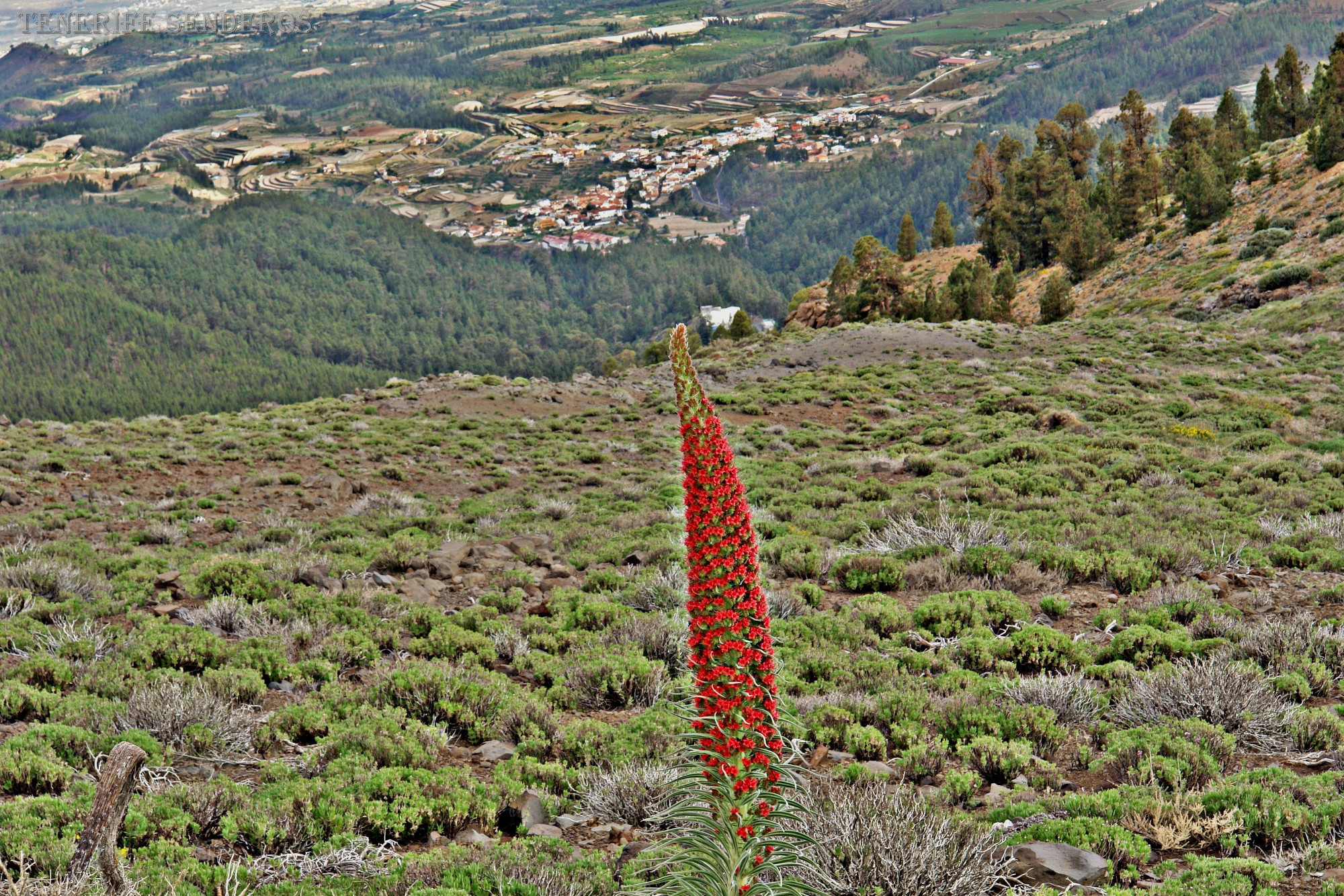Tenerife-noveny-Tajinaste_rojo-2