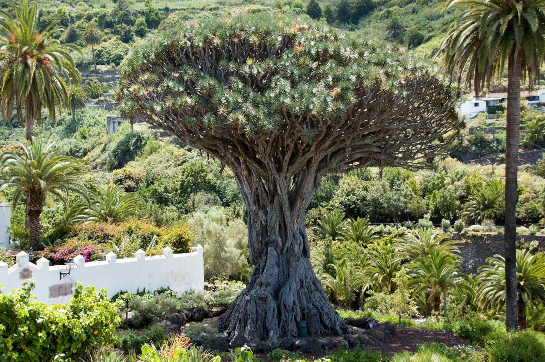 7-Ezer-éves-fa